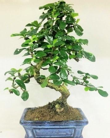 Zelkova S gövdeli Minyatür ağaç Bonzai  Amasya çiçek gönderme