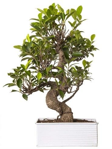 Exotic Green S Gövde 6 Year Ficus Bonsai  Amasya çiçek gönderme sitemiz güvenlidir