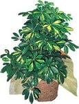 Amasya internetten çiçek siparişi  Schefflera gold